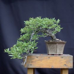 Pyracantha - pyrakanta