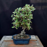 Skalník - Cotoneaster
