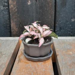 Doplnková rastlina Fittonia