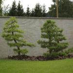 Pekne zahustené borovice