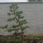 tvarovanie borovice