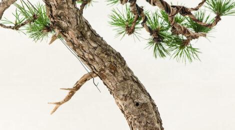 25 stromov (Sphéra bonsajov)